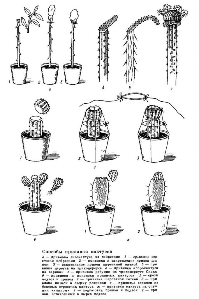 Способы прививки кактусов