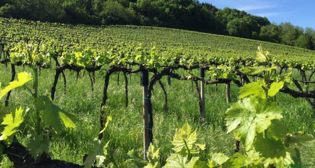Штамбовые кусты винограда
