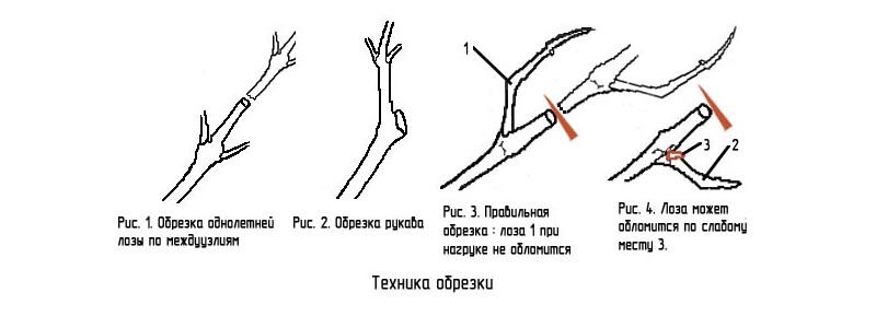 Техника обрезки лозы винограда