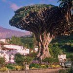 Фото 24: Тысячелетнее Драконово дерево на острове Тенерифе, Испания