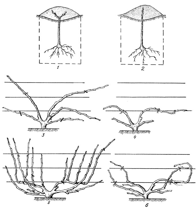 Веерная формовка куста винограда