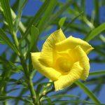 Фото 91: Желтый олеандр