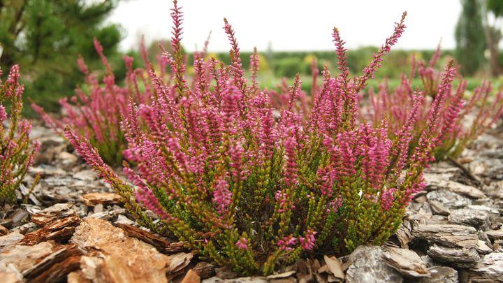 Цветущие кустарники для дачи вереск 2