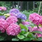 Фото 12: Цветущие кустарники для дачи гортензия 2