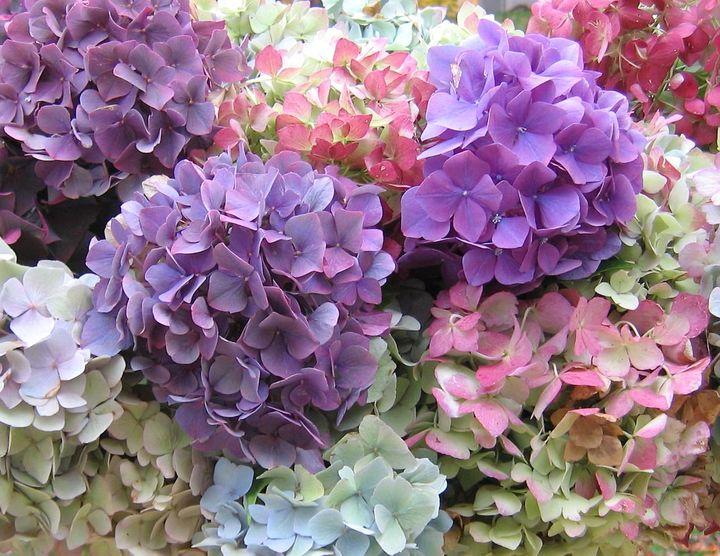 Цветущие кустарники для дачи гортензия