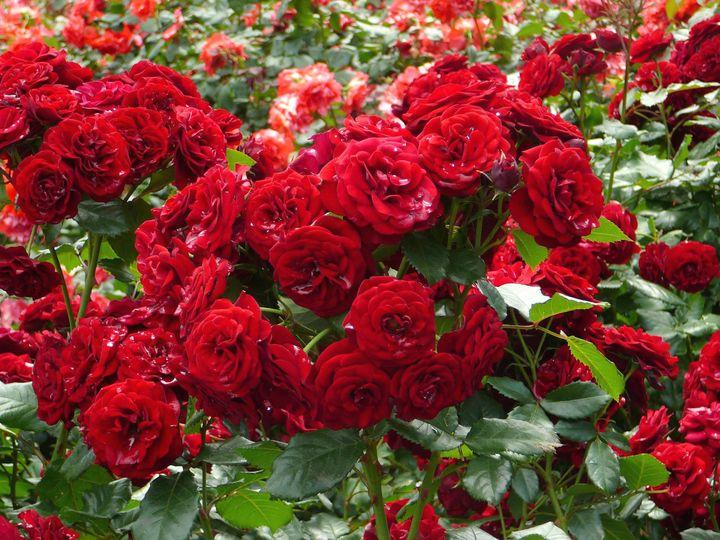 Цветущие кустарники для дачи кустовая роза 1
