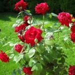 Фото 18: Цветущие кустарники для дачи кустовая роза 3