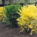 Фото 27: Цветущие кустарники для дачи форзиция1