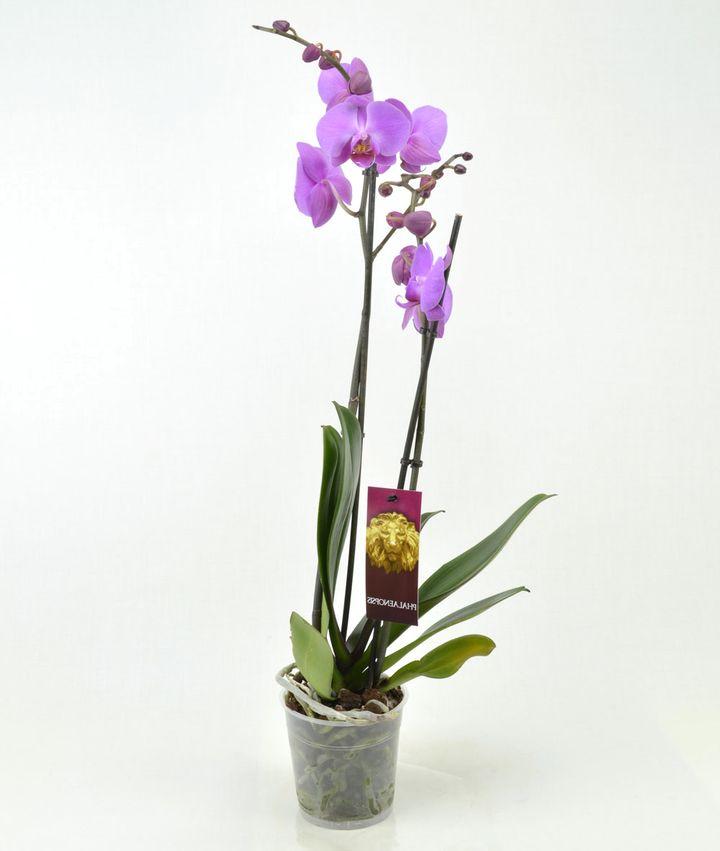 орхидея 11