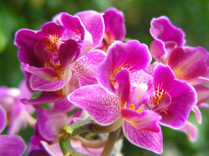 орхидея 13