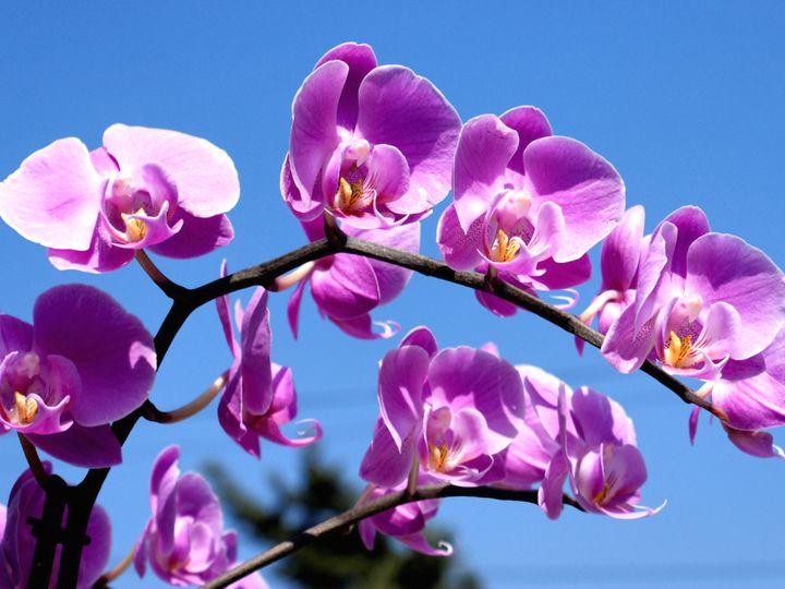 орхидея 15