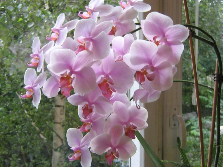 орхидея 3