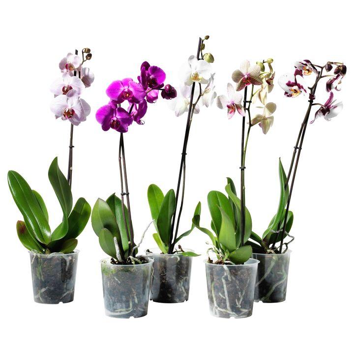 орхидея 9