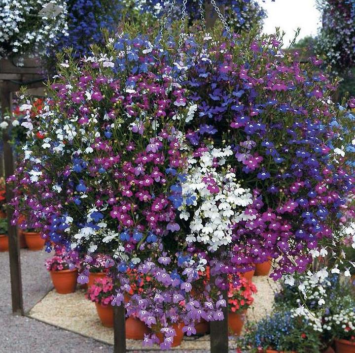 Цвета лобелии садовой