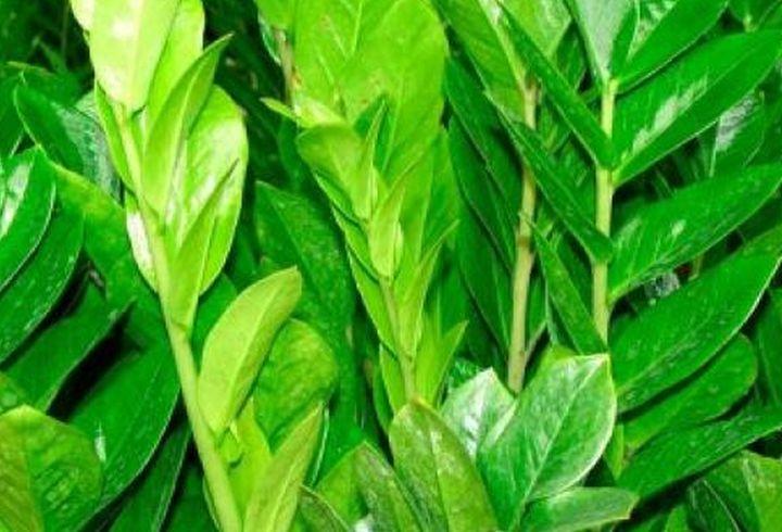 замиокулькас травянистый