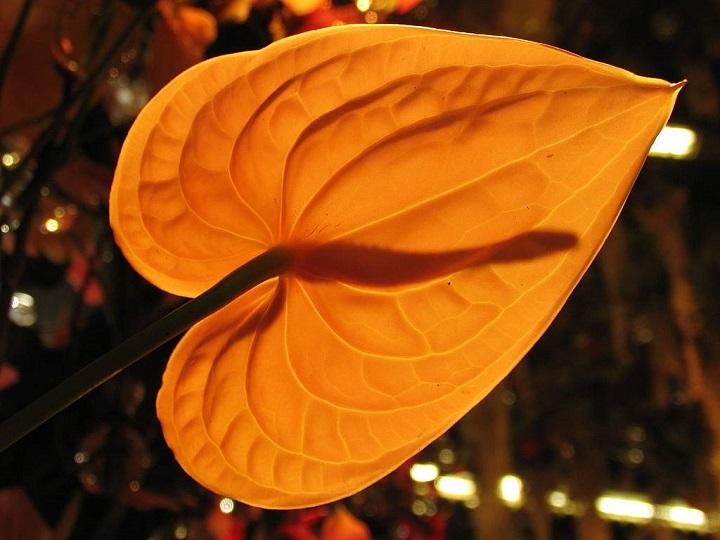 Антуриум Куба обладает оригинальной расцветкой, фактурой листьев