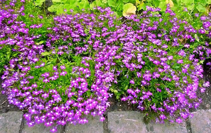 Садовая лобелия