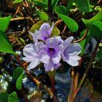 Фото 33: Eichhornia Azurea- водный гиацинт