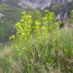 Фото 51: Молочай миндальный в Альпах