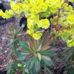 Фото 53: Euphorbia amygdaloides Purpurea