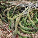 Фото 115: Euphorbia caput medusae
