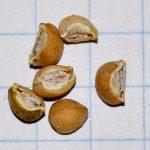 Фото 61: Семена молочая разнолистного
