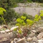 Фото 70: Euphorbia petrophila