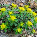 Фото 47: Euphorbia polychroma