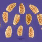 Фото 150: Семена Euphorbia prostrata