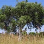 Фото 94: Дерево молочая Тирукалли
