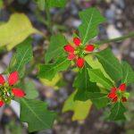 Фото 64: Euphorbia cyathophora