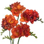 Фото 85: Freesia Double Bi-Color