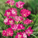 Фото 88: Freesia Single Pink