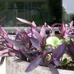 Фото 72: Выращивание традесканции Блоссфельда на открытом воздухе