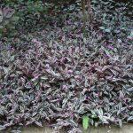 Фото 36: Традесканция полосатая Зебрина в саду
