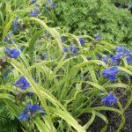 Фото 129: Tradescantia andersoniana iris