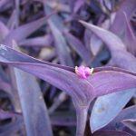 Фото 135: Tradescantia pallida purpurea