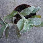 Фото 59: Выращивание традесканции силламонтаны в горшке