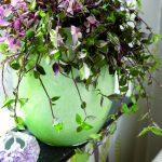 Фото 144: Tradescantia albiflora
