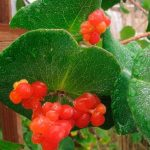 Фото 51: Ягоды и листья жимолости Брауна