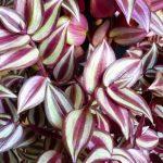 Фото 148: Традесканция Zebrina pendula