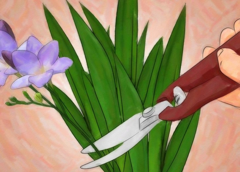 Срезание цветов фрезии
