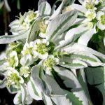 Фото 36: Цветение молочая окаймленного