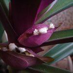 Фото 91: Бутоны цветков традесканции Рео