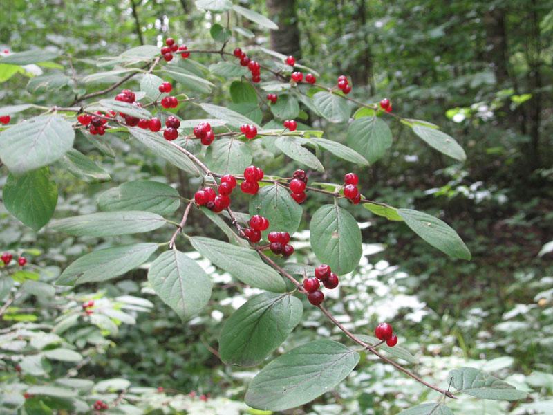 Ягоды лесной жимолости
