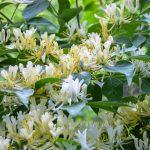 """Фото 53: Цветы жимолости """"синяя птица"""""""