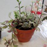 Фото 51: Выращивание белоцветковой традесканции