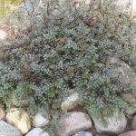 Фото 66: Традесканция мелколистная в саду