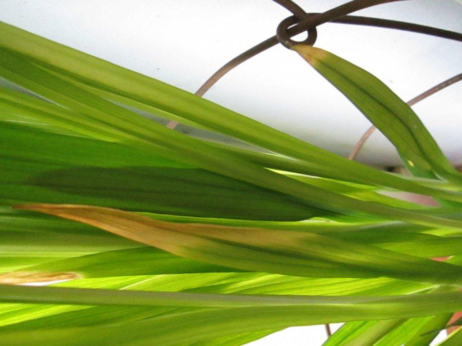 Пожелтение листьев фрезии