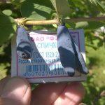 """Фото 60: Размер ягод жимолости """"Голубое веретено"""""""